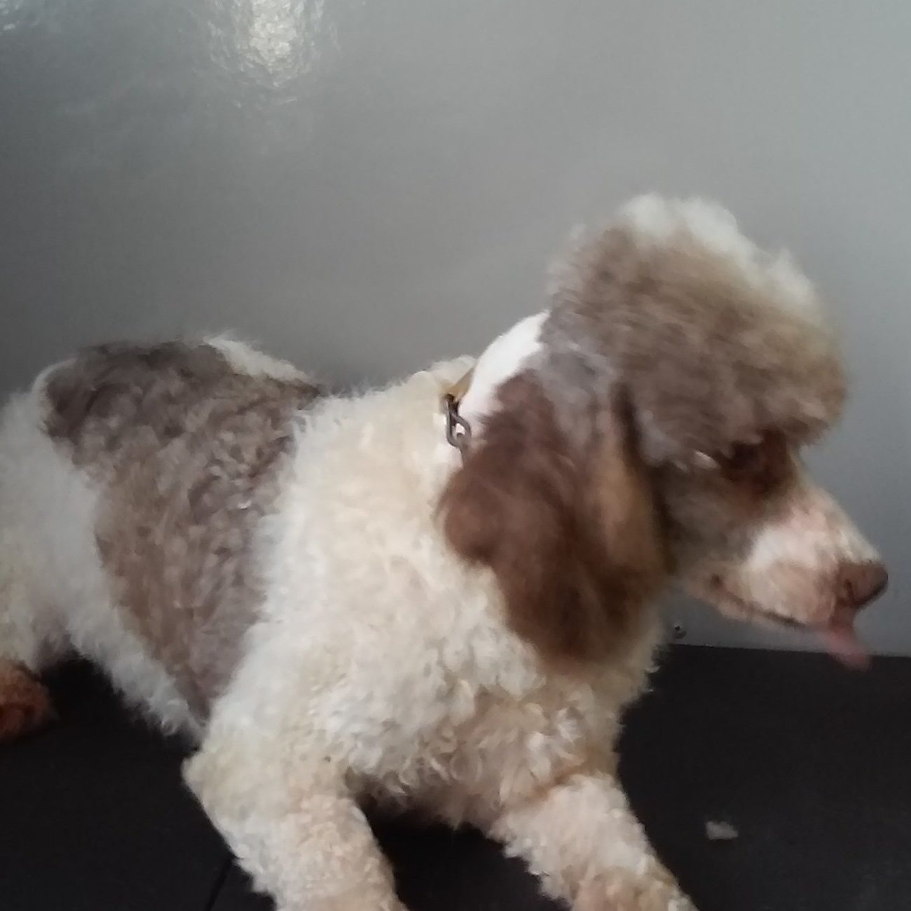 Charlie is a 12 pound miniature Male Poodle with a good personality, loves children. He is a lot of fun. He is the father of the Mini Bernedoodles.