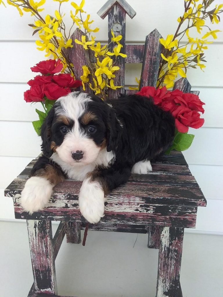 #1 Female, tri Color Mini Bernedoodle