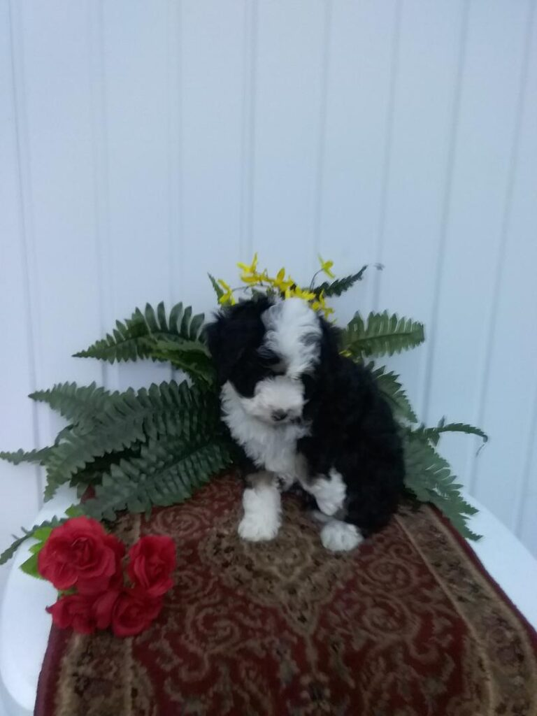 Aby Mini Bernedoodle