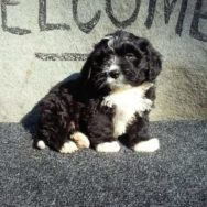 MIni Bernedoodle Male