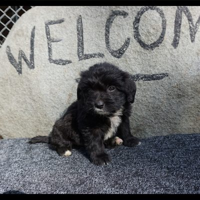 Mini Bernedoodle female
